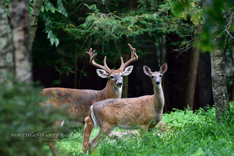 DW-2019.8.25#082.3. A Whitetail Buck and Doe in a summer woods. Pennsylvania. Photo by Guy J.