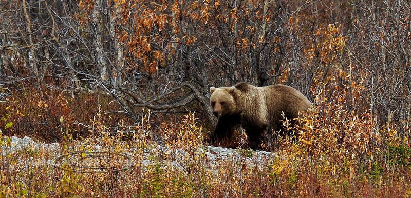 Interior Grizzly Bear. One of the few times he raised his head for a shot in the clear as he was very intently grazing on soap berries as he cruised the river drywash. Alaska Range,Alaska. #912.246.