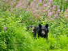 BB-2009.7.28#028. A young Black bear moving about on a rainy afternoon, grazing on sedges. Unit 16, Alaska Range, Alaska.