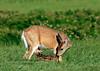 DW-2012.6.16#167. A Whitetail Doe with her  newborn Fawn. Camas Prairie Idaho.