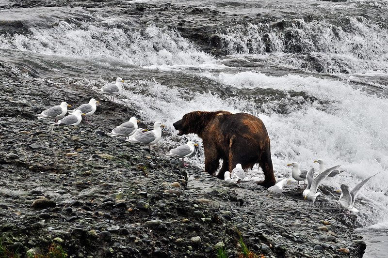 135-2010.8.13#070. A Brown bear hurries to finish his salmon meal so he doesn't loose his spot to another bear as a flock of gulls wait for scraps. McNeil river falls, Alaska Peninsula, Alaska.