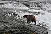 135-A Brown bear jockeys for a better fishing spot amongst many others at McNeil river falls, Alaska. #813.070.