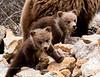 Grizzly cubs. Alaska Range Mtn's.,Alaska. #526.123.