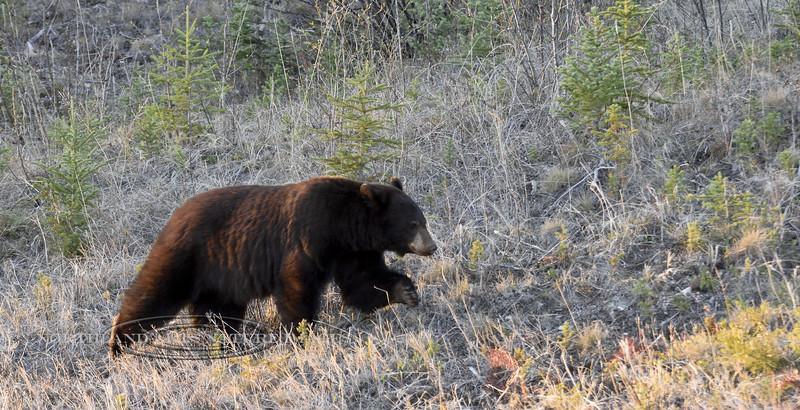 Bear, a cinnamon phase Black bear. Alaska Highway. 515.622.