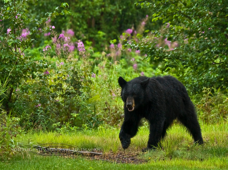 BB-2009.7.28#190.3. A Black bear coming out in the evening to graze on grass and sedge. Unit 16, South Central Alaska.
