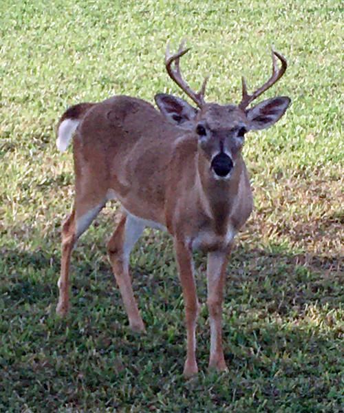 Deer, Key 2020.1.31#4226.3. Big Pine Key, Florida. Photo by Guy J.