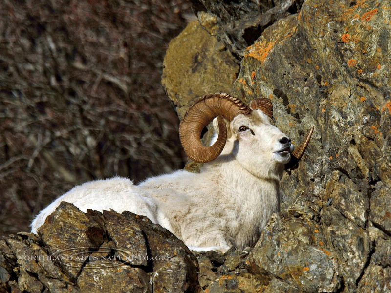"SD-2014.11.25#145-A Dall ram rests after being beaten in the ""Rutting"" battles. Chugach  Mtn's., Alaska."