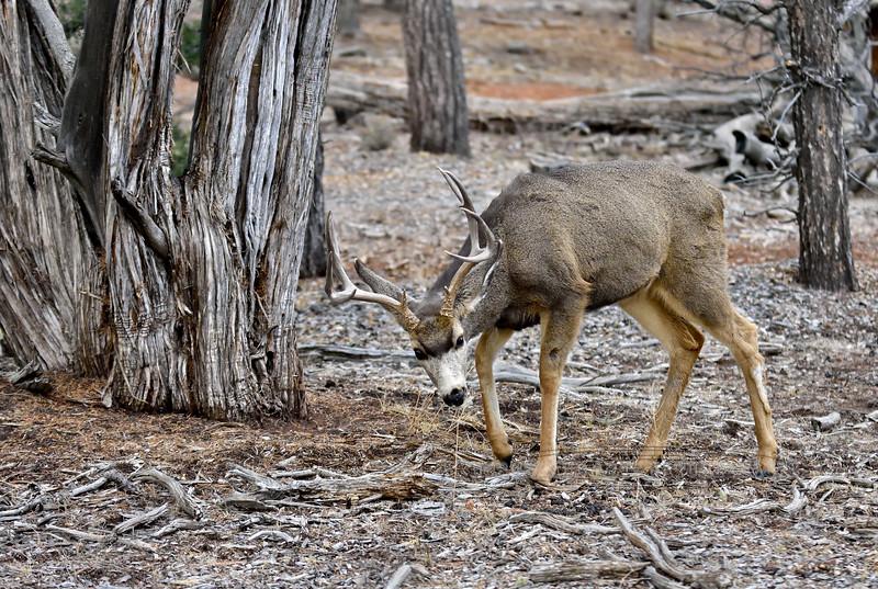 DM-2018.1.16#178. Mule Deer. Kaibab Forest, Arizona.