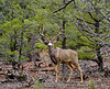 DM2020.3.12#7232.4. A  Mule deer buck, late winter in the Coconino Forest Arizona.