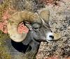SBHD-2019.10.12#748.b3X. A really fine Desert Bighorn Sheep.