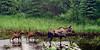 A moose cow with calves feeding on pond vegetation. Alaska Range, Alaska. #629.081. 1x2 ratio format.