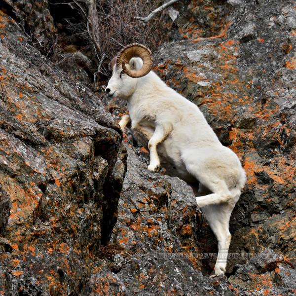 SD-2014.11.13#146-A nice mature full curl Dall ram climbing some steep terrain. Alaska.