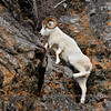 SD-2014.11.13#146-A nice mature full curl Dall ram climbing some steep terrain. Alaska.