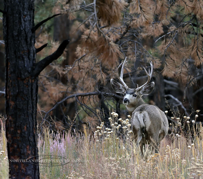 DM-2019.10.15#626.2. A Mule deer buck in the Kaibab Forest on the north rim of the Grand Canyon Arizona.