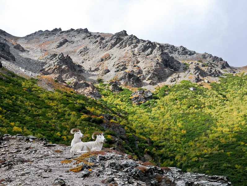 SD-2008.9.5#158-Dall Sheep in Savage Canyon, Denali Park Alaska.
