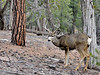 DM-2018.1.16#237. Mule Deer. Kaibab Forest Arizona.