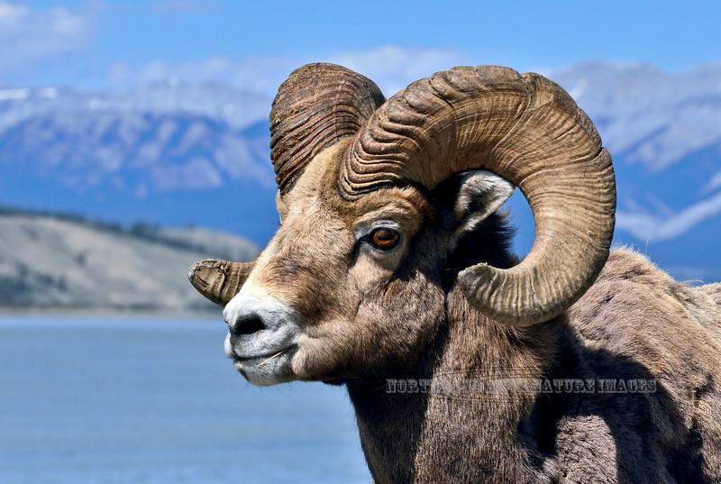 SBHRM-2015.5.20#1637. A Rocky Mountain Bighorn ram. Alberta Canada.
