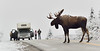 M-sf4-2015.9.16#208. Alaska Moose. A Grand old bull stops traffic in Denali. Would have been a great photo opp just to get this bull emerging from the forest on his walkabout, but having my friend Bill from Maine show up with his family made this a really special moment. Savage country, Denali Park Alaska.