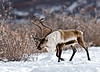 93-2008.10.4.c3. A bull caribou with unusual antler formation. Denali Country Alaska.