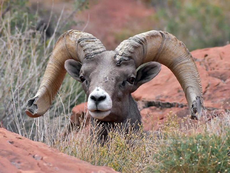 SBHD-2018.12.6#289. Desert Bighorn ram.