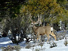 DM-2019.2.27#032. Mule Deer. Kaibab Forest Arizona.