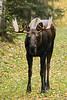 M-2005.9.21#0071. A young bull moose. Kincaid Park, Anchorage Alaska.