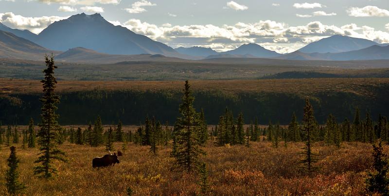 M-2016.9.9#1424. A lone bull walking into the sunset. Mile eleven, Denali Park Alaska.