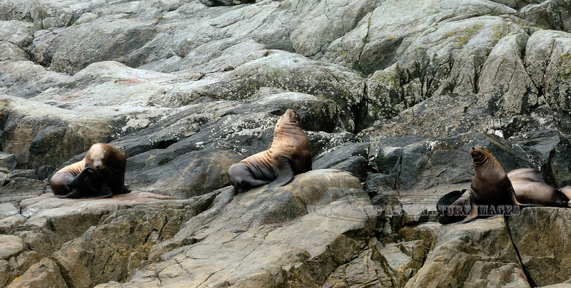 MM-Sea Lion. Resurrection Bay, Seward, Alaska. #84.1132. 1x2 ratio format.