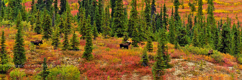 307-2009.8.28#00678. Alaska moose in a beautifully colored taiga forest scene. A typical scene early in the pre rut. These bulls are still feeding but they are already following the cows. Savage country, Denali Park, Alaska.