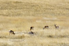 APS-2018.3.21#1254. Sonoran Pronghorns. Sonoita Arizona.