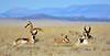 AP-2018.1.21#001. Pronghorn Antelope. Yavapai County, Arizona.