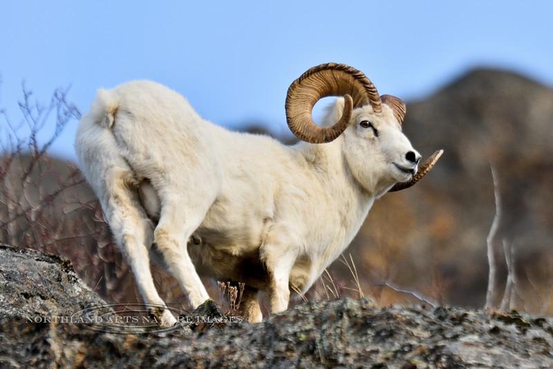 SD-2014.11.13#121-A nice mature full curl Dall Ram. Alaska.