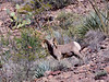 SBHRM-2018.4.12#3200. An Arizona Rocky Mountain Bighorn.