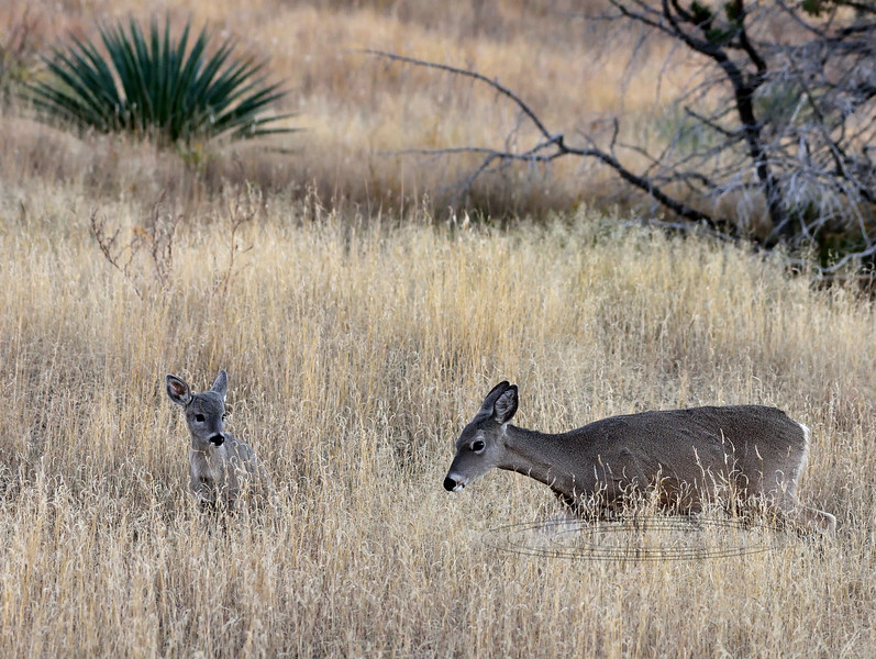 DC-2018.11.21#357. Coues Whitetail Deer. A doe and fawn grazing a hillside at first light. Arizona.