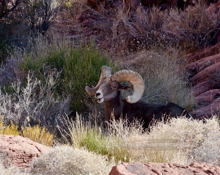 SBHD-2019.10.12#262.3. A real good Desert Bighorn ram.