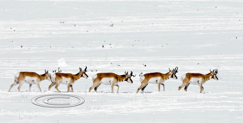 AP-2019.2.24#006. Pronghorn Antelope. Yavapai County Arizona.