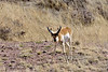 APS-2018.3.21#1233. Sonoran Pronghorn buck. Sonoita Arizona.