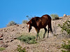 H-2020.5.4#2137.4. One of four Wild Horses I encountered in a group on the North Shore of Lake Mead Rec.area Nevada.