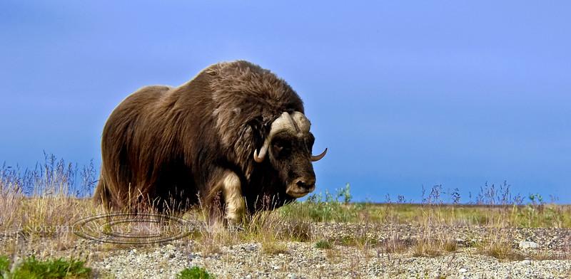 7-2007.8.5#898. A lone bull Muskox cruising the coastal plain of the north slope Alaska.