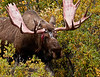M-tf7-2011.8.3-Alaska Moose. An old bull, his face scarred from many years of rutting battles. #83.149.