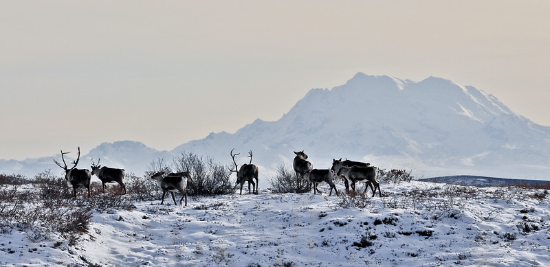 C-2010.10.24#043.2X. A group of Caribou are crossing a high ridge above the Gakona Glacier in the Alaska Range backdroped by Mount Sanford in the Wrangell Mountains over a hundred miles away. Alaska.