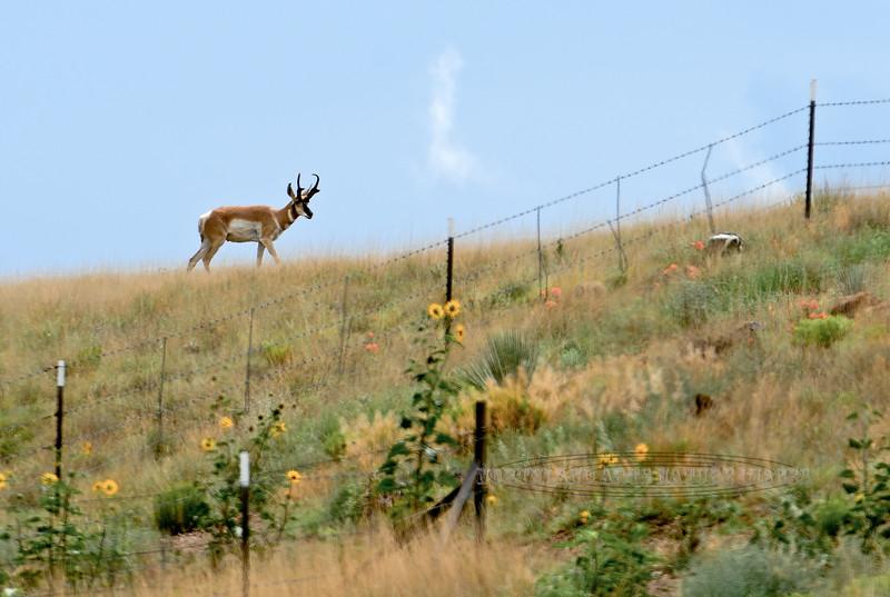 AP-2017.7.24#204.4X. A real nice Pronghorn Antelope buck cruising the prairie in Yavapai County Arizona.