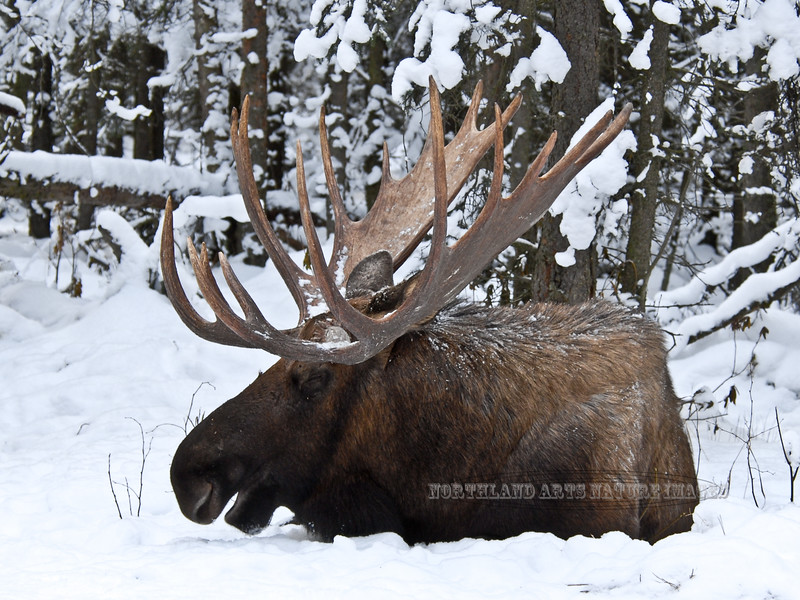 A bull moose I was familiar with for a number of years. The same bull from the previous image two years later. Anchorage Alaska. #1117.152. 3x4 ratio format.