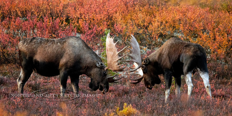 I had to shoot these two bulls in near darkness. I obviously had to push the ISO hard and lost quality in the image. But I was glad I did shoot and got what I did. I have many image variations of this confrontation. Alaska Range Alaska. #94.145. 1x2 ratio format.