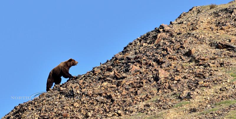Bear,Grizzly. A boar tracks a sow up to a ridge top. Alaska Range, Alaska. #529.033. 1x2 ratio format.