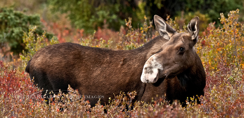 """The """"white-nose"""" cow moose that lived to be quite old in Denali National Park, Alaska. #822.115. 1x2 ratio format."""