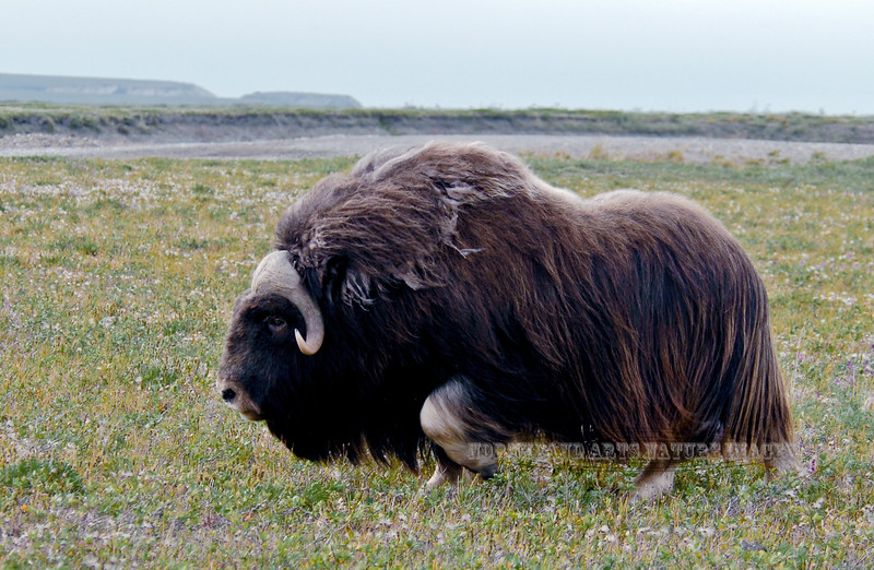 MO-2007.8.5#1008. A nice mature bull Muskox traveling the tundra on the Coastal Plain of the  North Slope Alaska. A day like I remember most in the Arctic, dark, rainy and windy.
