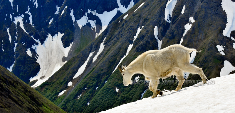 GM-2012.7.18#098. A young Mountain Goat billy traversing a snow field on a steep hanging glacier in the Chugach Mountains Alaska.