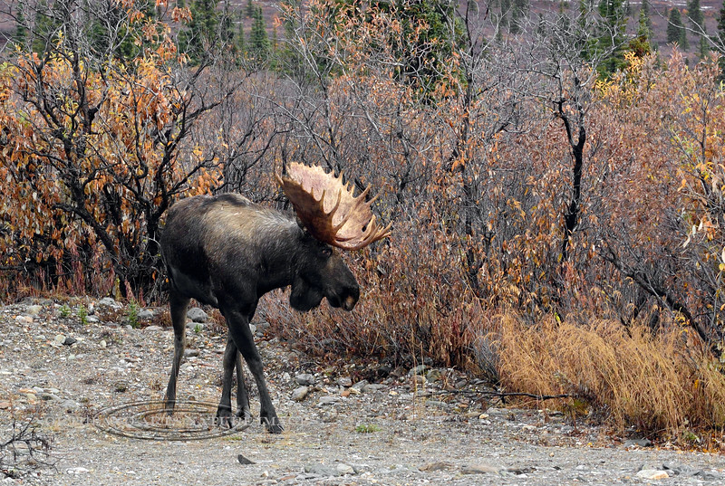 M-2015.9.15#042. Alaska Moose. Nine mile, Denali Park Alaska.