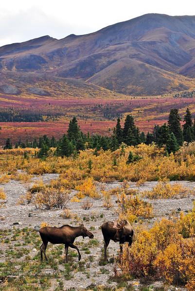 "M-2013.9.9#207. A cow moose exibits behavior of ""The silent estrus"", weeks before the actual rutting period. Mile nine, Denali Park Alaska."